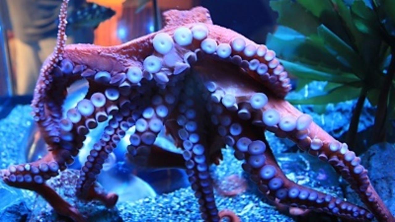 Seattle Aquarium Cancels Octopus Mating Session