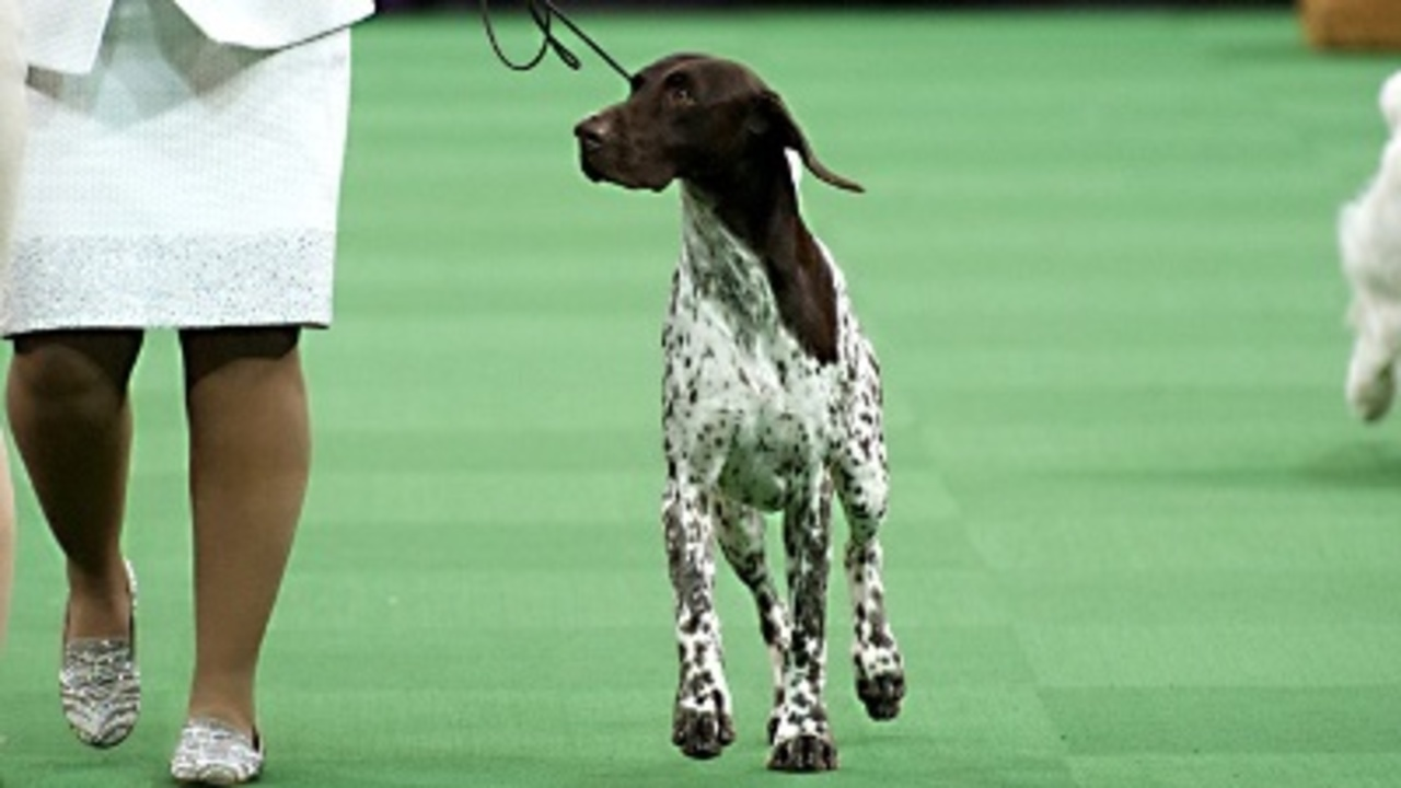 National Dog Show German Shorthaired Pointer