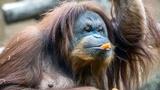 Orangutan causes $220K damage at zoo