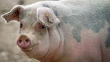 Kids get swine flu from pigs at state fairs, CDC reports