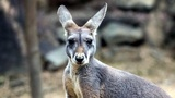 Australian police save kangaroo from eagle