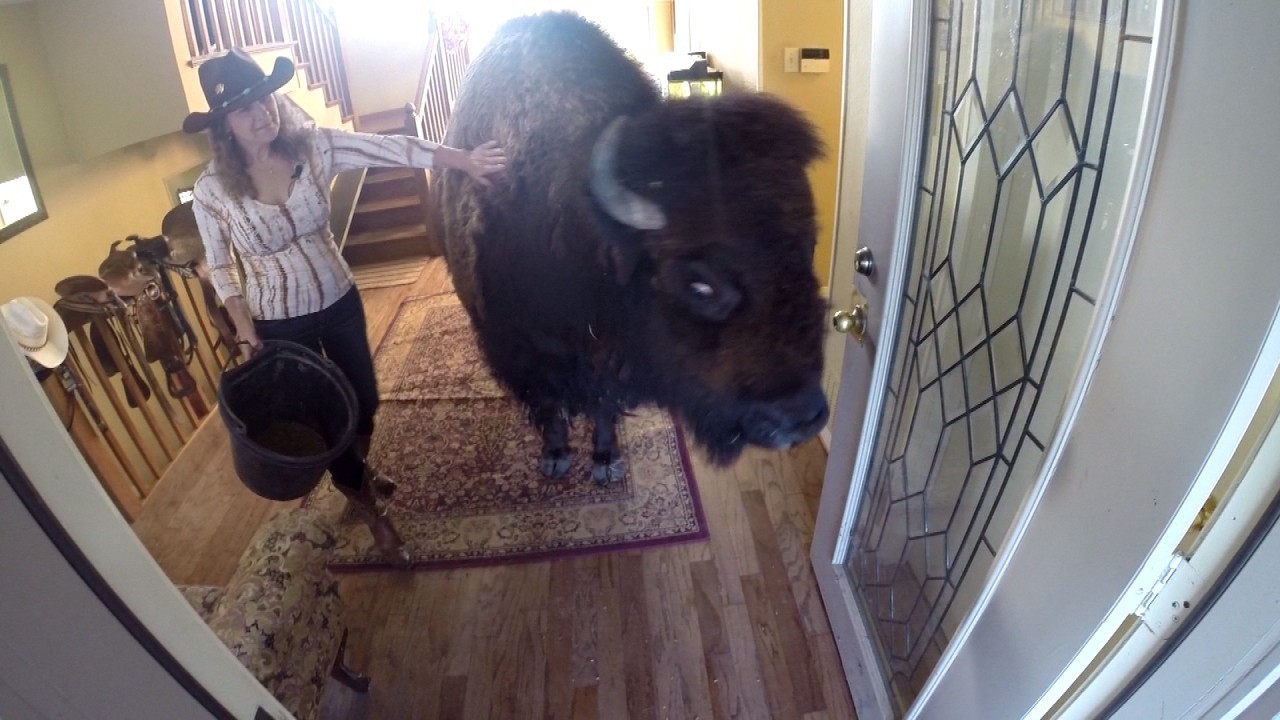 Woman Sells House-Trained Bison on Craigslist for $5,950,...