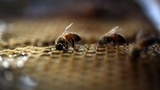 Man dies after being stung by bees more than 1,000 times