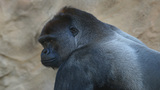 Cincinnati zoo kills gorilla to save child