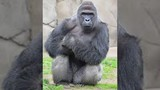 Zoo shoots gorilla to protect boy who fell into enclosure