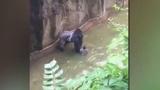 Witnesses describe screams, shots at gorilla enclosure