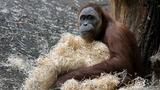 Orangutan escapes in Fla. amusement park