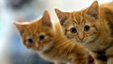 Cat leash law could come to Alaska town
