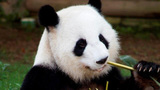 Lun Lun the giant panda is expecting