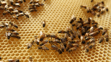 Bees placed on endangered species list -- a first in the US