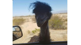 Emu lassoed on Arizona highway