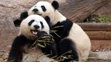 American pandas have culture shock in China