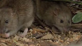 CDC: Pet rats linked to virus outbreak