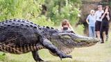 Huge gator caught on video, going viral