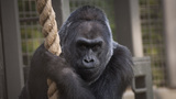 Colo, the oldest gorilla ever on record, dies at 60