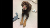 'This is an extreme': Dog found with ears and nose cut off