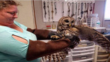 Owl rescued from truck grill released back into wild