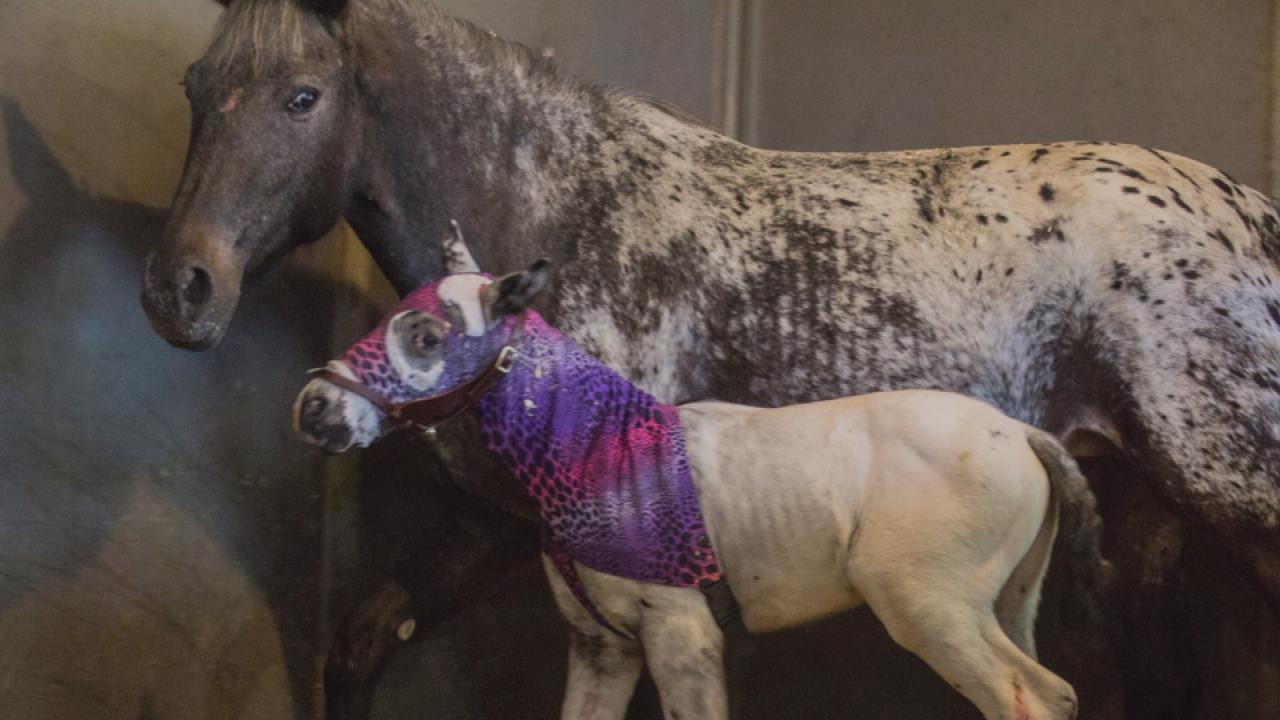 Rare Horse Attacked By Mountain Lion As He Was Being Born