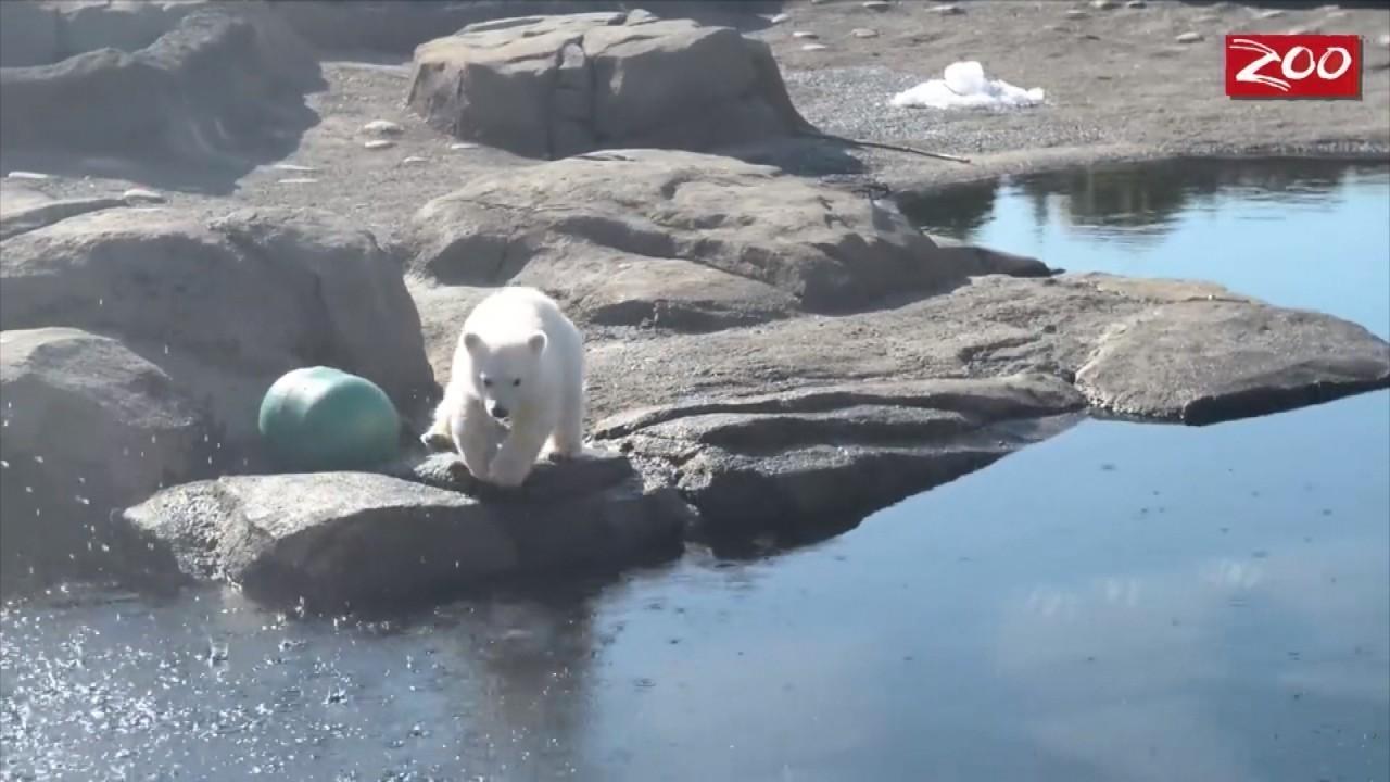 Beloved Polar Bear Practices Plunges and Handstands in...