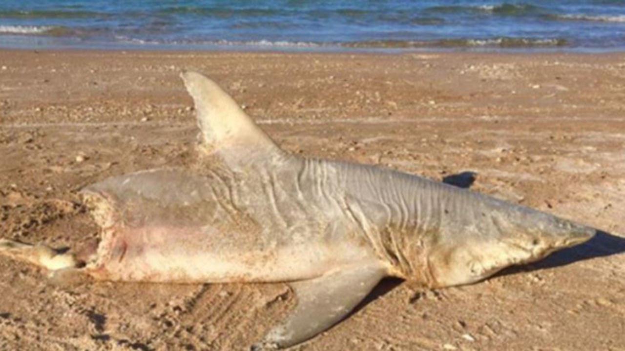 Half Eaten Shark Washes Ashore On Florida Beach