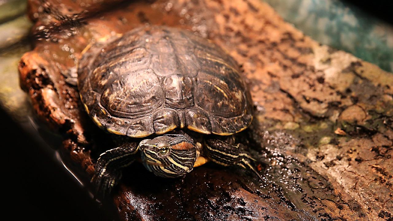 Pet turtles species